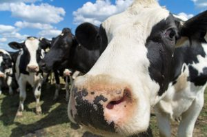 Closeup view of the nose of a Holestein dairy cow with other cows in background.Similar Images: