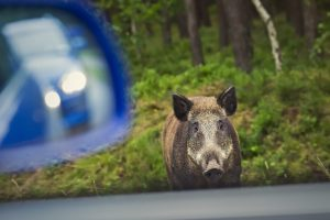 Wild boar on the side of the road